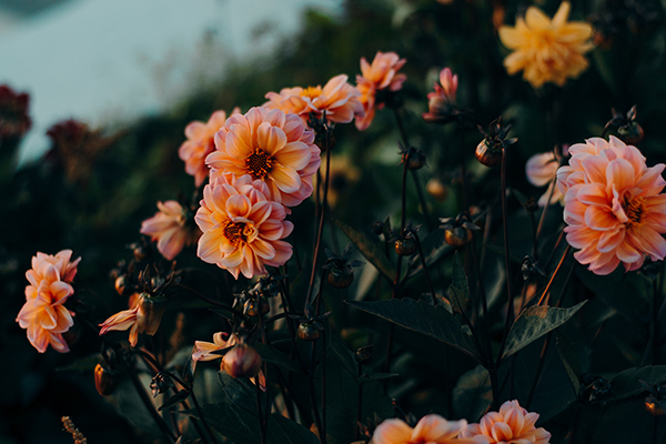 Hibiscus roses en fleur