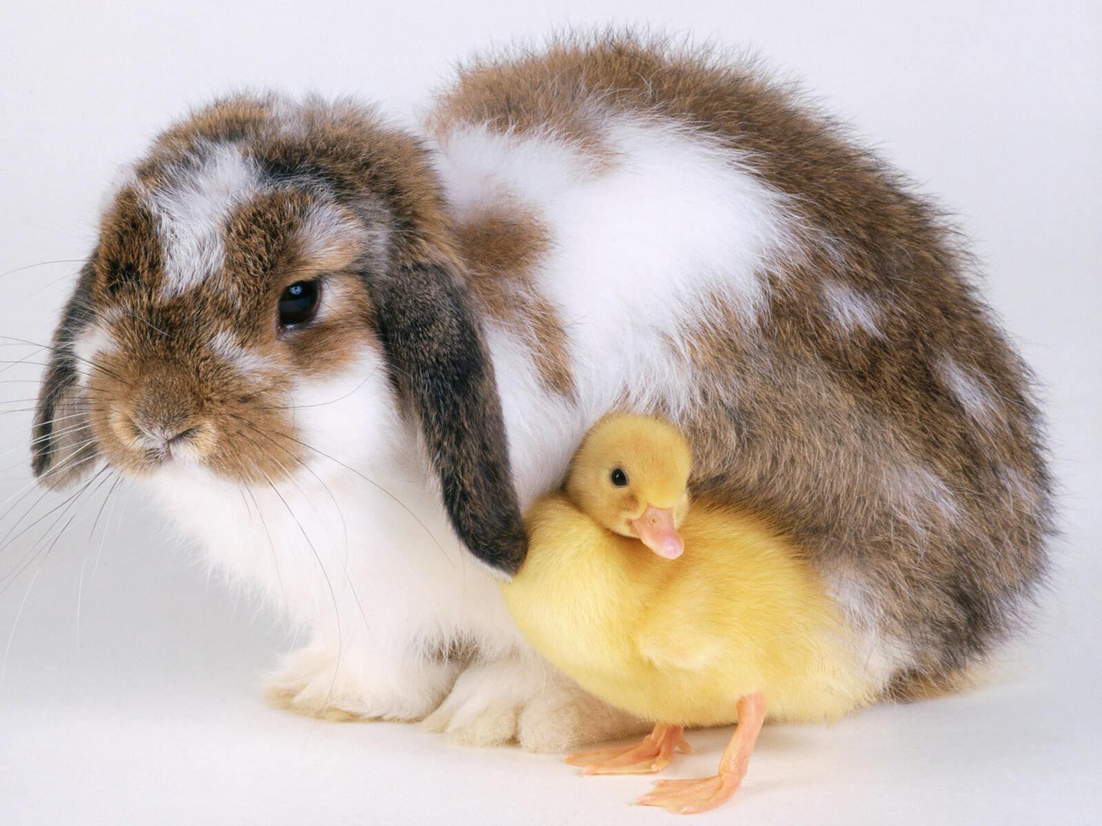 PDSA charity rabbit and duck
