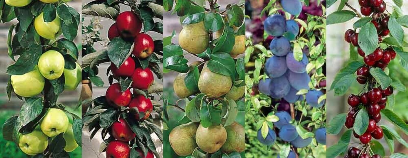 growing fruit - gardening