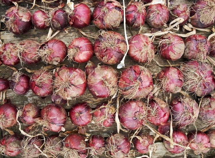 Red onion crop